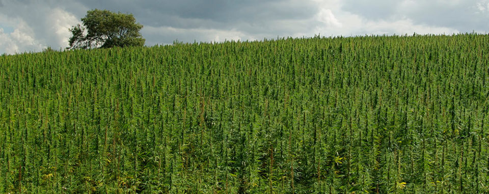 Hemp-Growing-small_1.jpg
